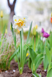 Narcissus flowers and tulips in spring garden Royalty Free Stock Photography