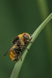 Narcissus Fly femminile Immagine Stock Libera da Diritti