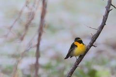 Narcissus Flycatcher Images libres de droits