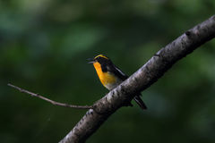 Narcissus Flycatcher Foto de Stock Royalty Free