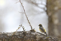 Narcissus Flycatcher on the branch of tree Stock Images