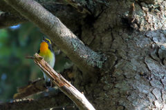 Narcissus flycatcher. Ficedula narcissina. Bird Stock Images