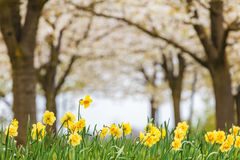 Narcissus in front of a blossom fruit trees Royalty Free Stock Photo
