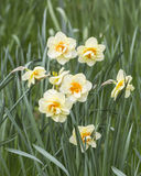 Narcissus Furbelow. Double pale yellow petals with frilly orange trumpet, in the RHS gardens at Wisley, Surrey, southern England, flowering in spring Royalty Free Stock Photography