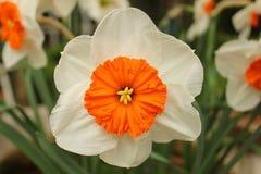 Narcissus in the garden. A narcissus in the garden Stock Photography