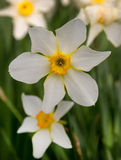 Narcissus in garden. Beauty narcissus in garden. Close Royalty Free Stock Photos