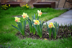 Narcissus in garden. Daffodils. Stock Photography