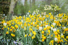 Narcissus in garden Stock Photography