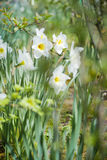 Narcissus in garden Stock Photo