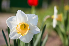 Narcissus in the garden Stock Images