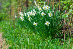 Narcissus in garden at the spring. Sunny day Stock Photos