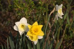 Narcissus in a Garden in Springtime. Three Narcissus in an garden. One is yellow an two are white an yellow. Seen in a Garden in Mannheim in springtime two years Royalty Free Stock Photography