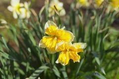Narcissus genus monocotyledonous plants of the family Amaryllis Stock Images