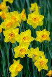 Fully-bloomed yellow daffodils. Narcissus is a genus of predominantly spring perennial plants in the Amaryllidaceae amaryllis family. Various common names Royalty Free Stock Photography