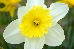 Narcissus Daffodil White and Yellow. Narcissus is a genus of predominantly spring perennial plants of the Amaryllidaceae amaryllis family. Various common names royalty free stock photography