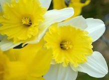 Narcissus Daffodil White and Yellow Pair. Narcissus is a genus of predominantly spring perennial plants of the Amaryllidaceae amaryllis family. Various common Stock Image