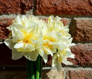 Double Daffodil Narcissus White and Yellow on brick wall background Stock Photos