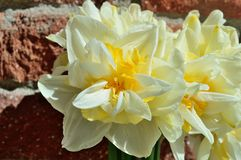 Double Daffodil Narcissus White and Yellow bouquet brick wall background royalty free stock images