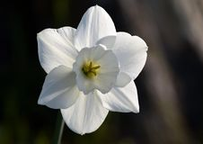 White Narcissus flower close-up. Narcissus is a genus of predominantly spring perennial plants of the amaryllis family. Various common names including daffodil royalty free stock photo