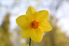 Yellow Narcissus pseudonarcissus flower close-up. Narcissus is a genus of predominantly spring perennial plants of the amaryllis family. Various common names stock photo