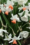 Narcissus, genus of  spring perennial plants of Amaryllidaceae amaryllis fperennial plantsamily Royalty Free Stock Image