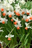 Narcissus, genus of  spring perennial plants of Amaryllidaceae amaryllis fperennial plantsamily. Various common names including daffodil, daffadowndilly Stock Photos