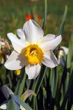 White daffodil in a spring garden on a green background. Narcissus is a genus spring perennial plants. Various names daffodil, daffadowndilly, narcissus, and Stock Photography