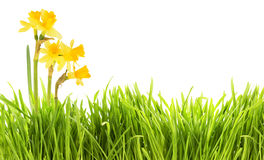 Narcissus and grass background Stock Photography
