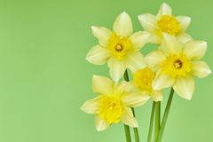 Narcissus on a green background Stock Images