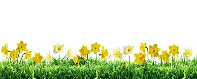 Narcissus in green grass. Spring border. royalty free stock photos