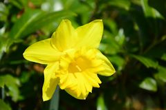 Narcissus Growing Alone amarillo imagenes de archivo