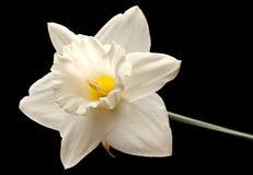 Narcissus head on black Stock Image