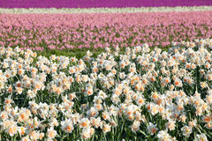Narcissus and hyacinth flowers on field Stock Photos
