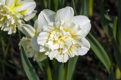 Narcissus of the Ice King species. On a flowerbed royalty free stock photo