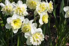Narcissus of the Ice King species. On a flowerbed stock photo