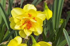 Narcissus of the Innovator species. On a flowerbed royalty free stock photo
