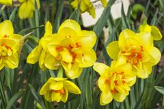 Narcissus of the Innovator species. On a flowerbed royalty free stock image