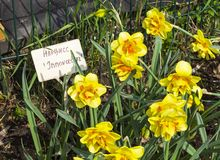 Narcissus of the Innovator species. On a flowerbed. Translation of the word on nameplate: `Narcissus Innovator royalty free stock photo