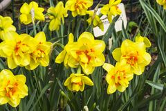 Narcissus of the Innovator species. On a flowerbed royalty free stock images