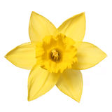Narcissus isolate on white. Spring Flower Royalty Free Stock Image