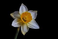 Narcissus isolated on black background. Jonquil isolated on black background royalty free stock image
