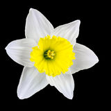 Narcissus isolated on black Royalty Free Stock Image