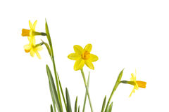 Narcissus isolated on White Royalty Free Stock Photo