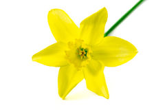 Narcissus. Isolated on a white background Stock Photo