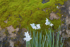Narcissus Jonquils by a Mossy Rock Royalty Free Stock Photo