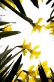 narcissus kwiaty Zdjęcia Royalty Free