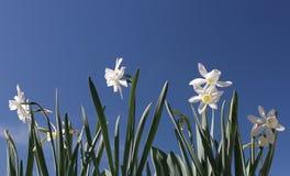 narcissus kwiaty Obraz Royalty Free