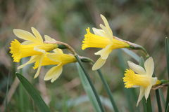 Narcissus in Lelingen, Luxembourg Royalty Free Stock Photography