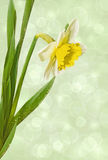 Narcissus on a light background Stock Images