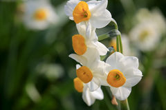 Narcissus macro Royalty Free Stock Photo